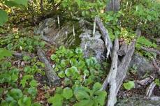 galax plants in bloom at Primland
