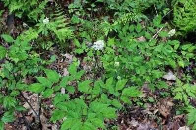 Baneberry leaves