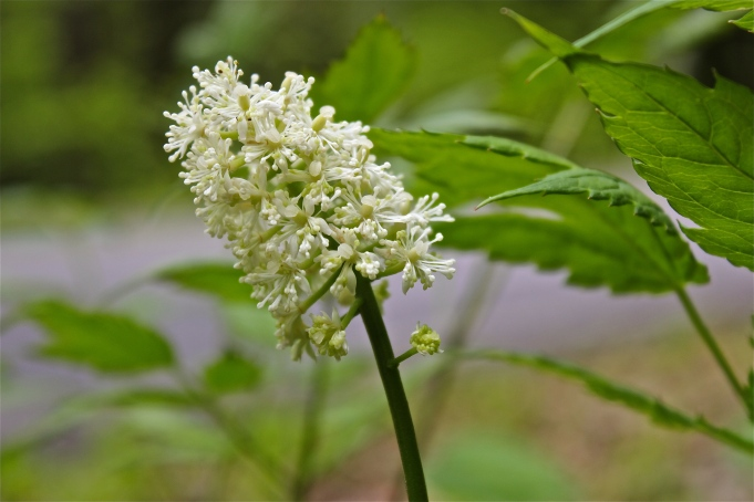 White Baneberry or Doll's Eyes