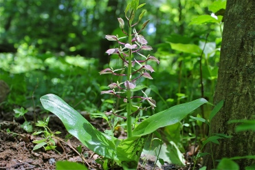 Lily-leaved Twayblade