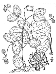 Leaves, flowers, and seeds of Addison's Leatherflower