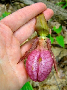 close up of Pink Lady's Slipper