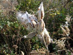 Seeds of Common Milkweed become airborne