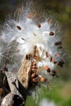 Milkweed seeds in October