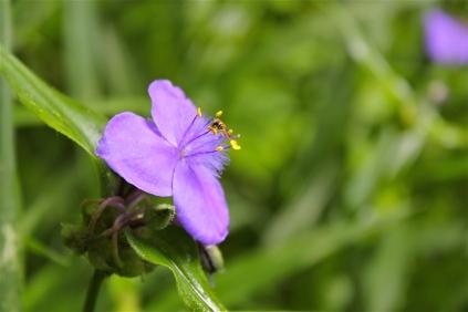 native spiderwort