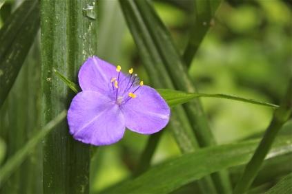 Wild Spiderwort