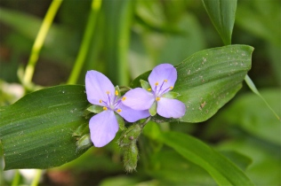 Spiderwort in the wild