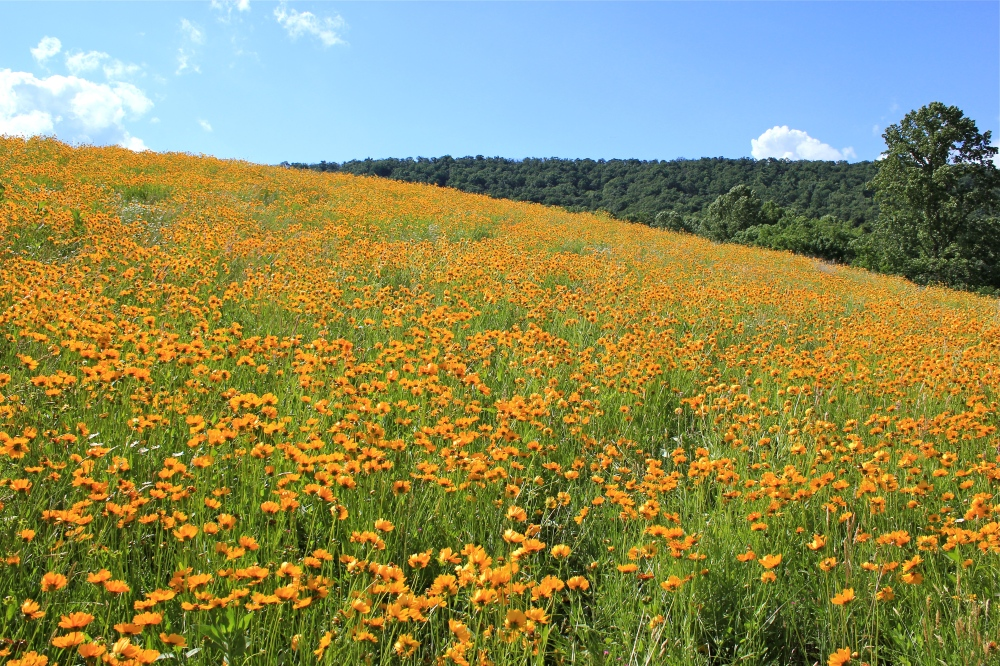a field of coreopsis