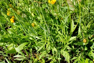 leaves of coreopsis