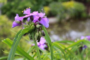 cultivated spiderwort