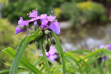 cultivated spiderwort