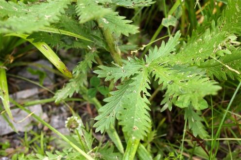 leaves of sulfur cinquefoil