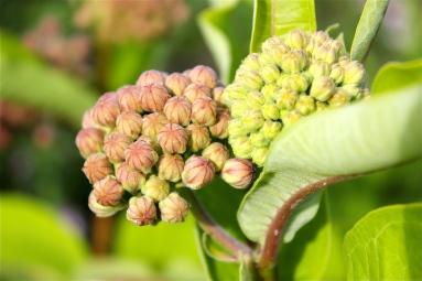 flower bud ofCommon Milkweed