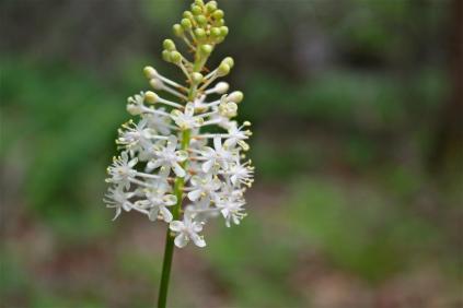 Fly Poison Flower