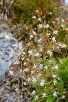 Cliff Saxifrage