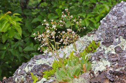 Cliff Saxifrage or Michaux's Saxifrage