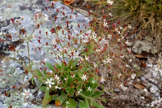 Cliff Saxifrage or Michaux's Saxifrage