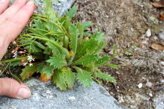 Cliff Saxifrage or Michaux's Saxifrage plant
