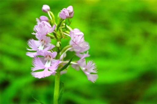 Purple fringed orchid