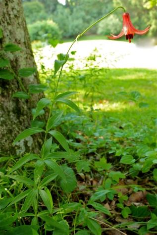 entire plant:Canada Lily