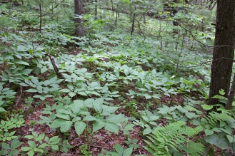 wild sasparilla growing in the forest understory