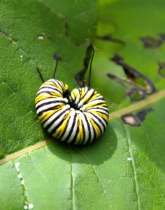 monarch caterpillar: do not disturb!
