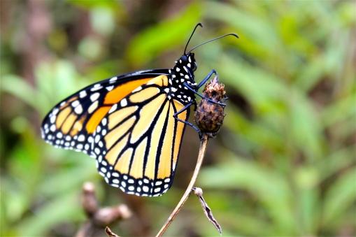 Monarch butterflies feed on milkweed