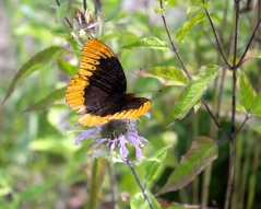 A male Diana Fritilary on wild bergamot
