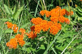 Butterfly weed in early July near Glen Alton