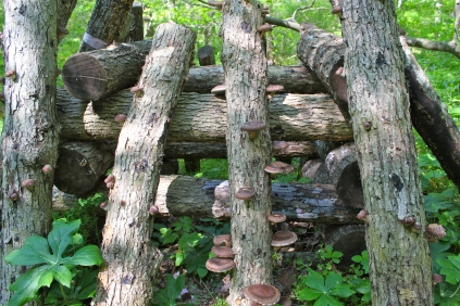 Shiitakes: two years after innoculation of oak logs