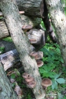 Shiitake mushrooms: two years after innoculation