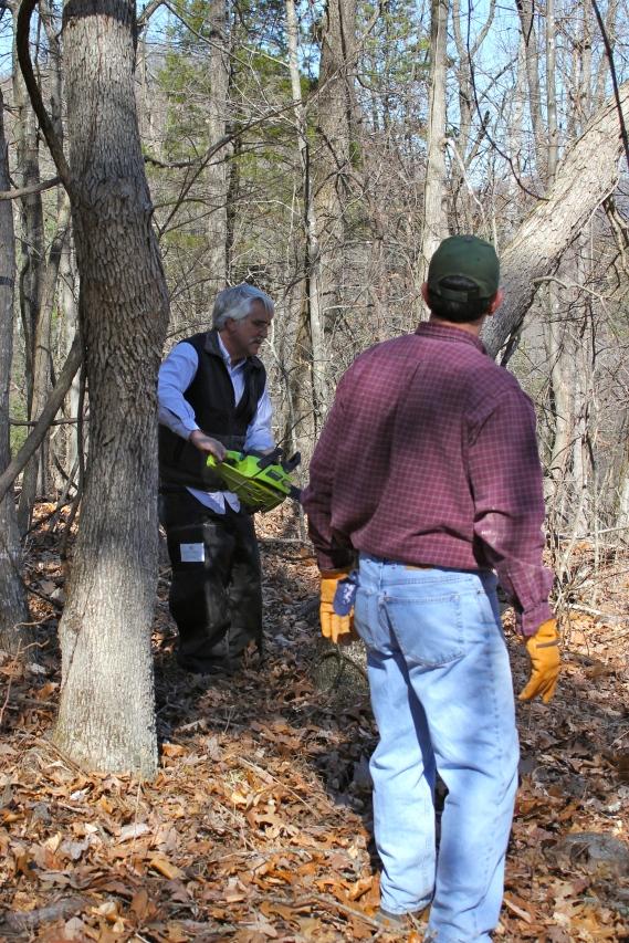 cutting fresh oak logs in March