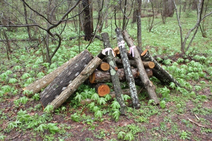 freshly cut oak logs for shiitake production