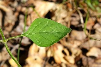 leaf ofScutellaria