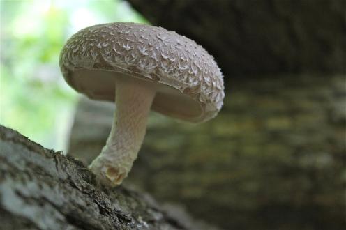 shiitake mushroom growing on an oak log
