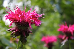 Image result for bergamot flower