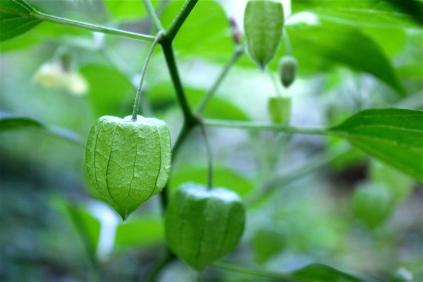 Ground Cherry or Chinese Lantern