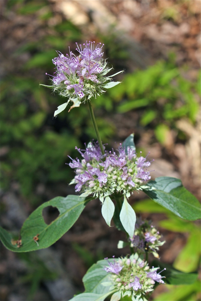 Mountain Mint