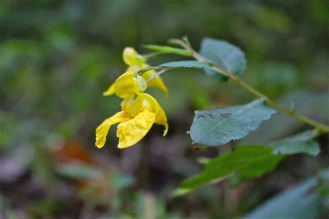 A Yellow variety of Jewelweed