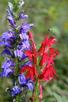 Great Blue Lobelia with Cardinal Flower