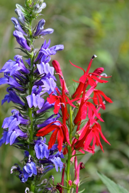 Great Blue Lobelia with Cardinal Flower