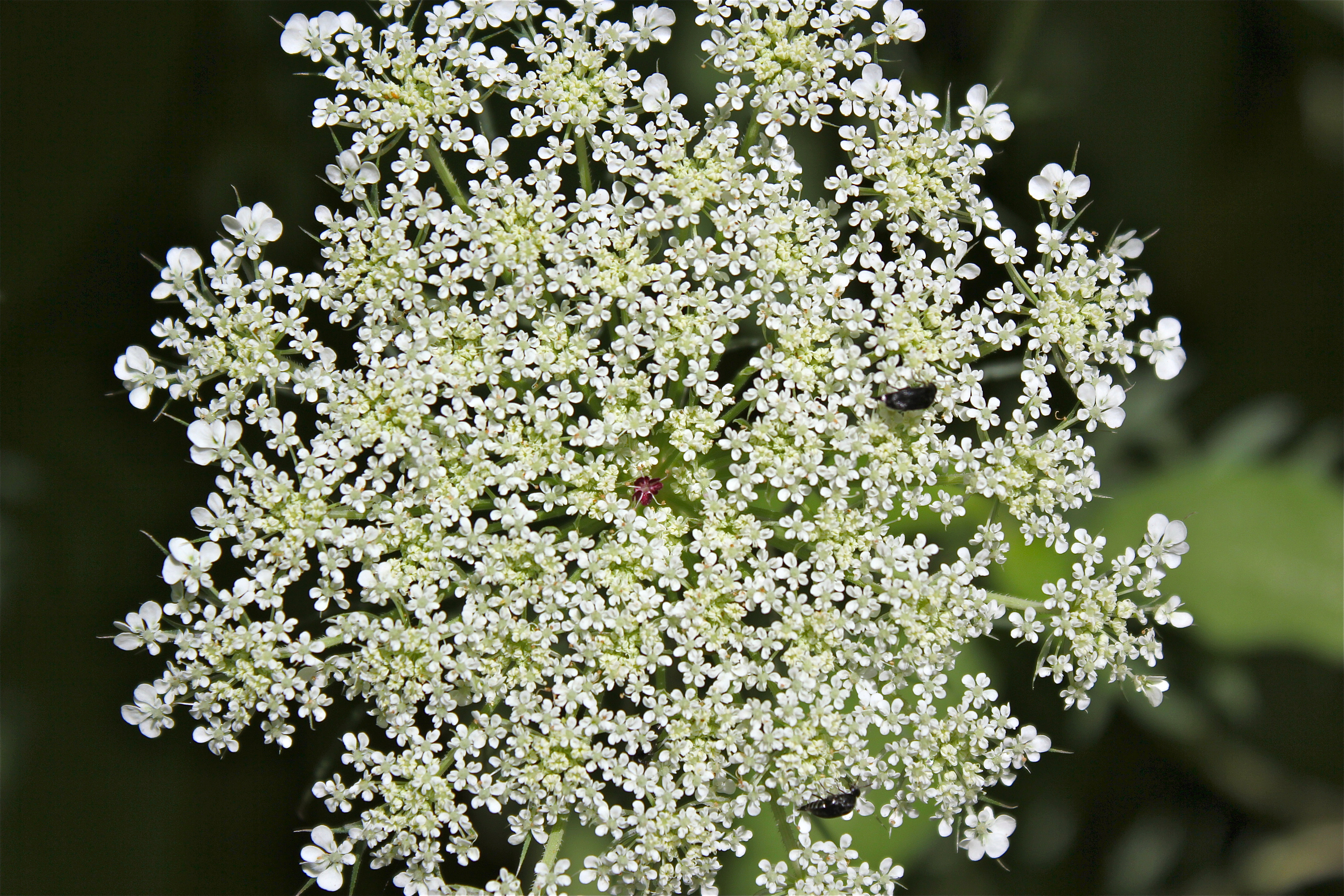 Queen Anne S Lace Virginia Wildflowers