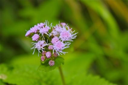 Blue mist flower or wild ageratum