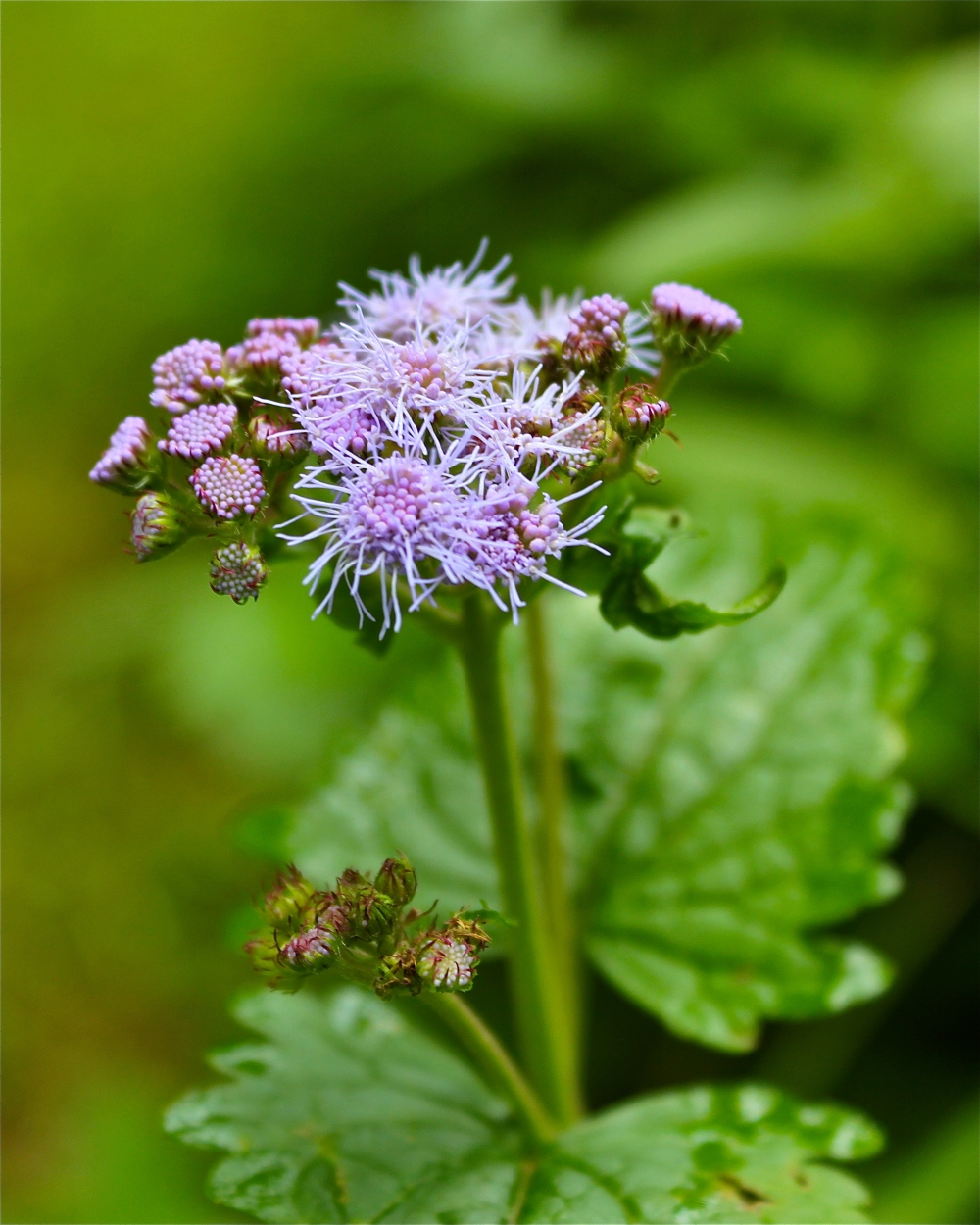 blue mist flower or wild ageratum