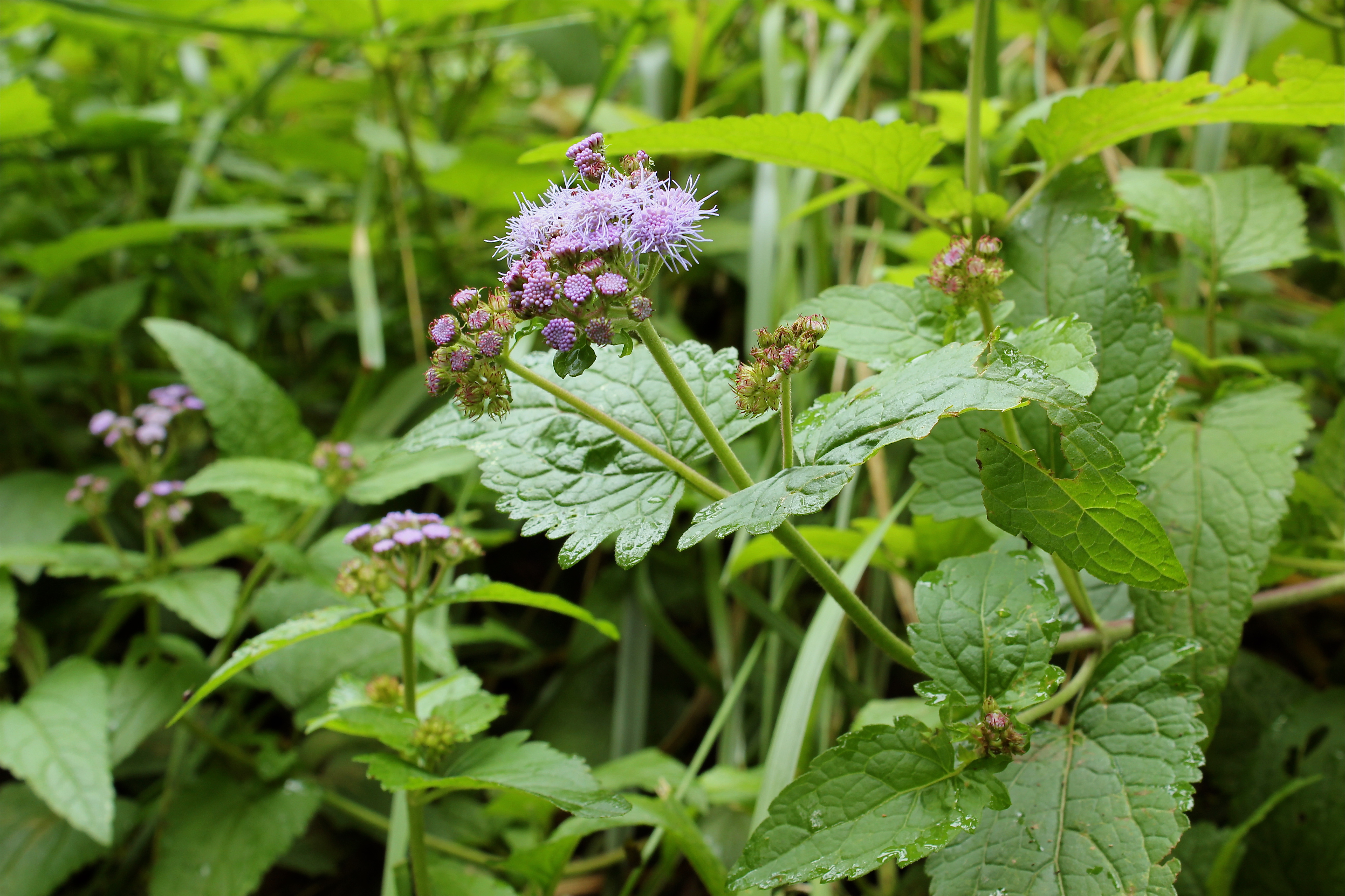 Blue mist flower or wild ageratum virginia wildflowers blue mist flower or wild ageratum izmirmasajfo