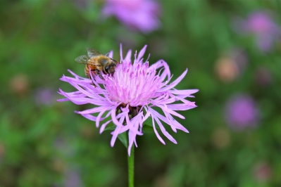 Pollinators are very attracted to the necar produced by knapweed