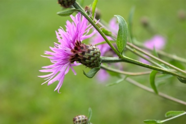 Spotted knapweed?