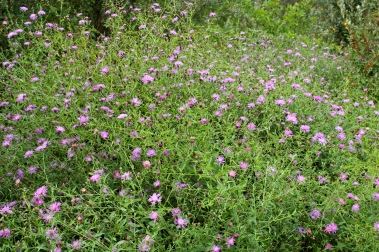 knapweed has a tendency to out-compete other plants, covering a large part of the landscape