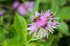 Honeybees love this plant
