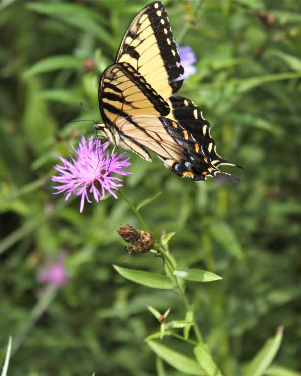Tiger swallowtails feeding on knapweed